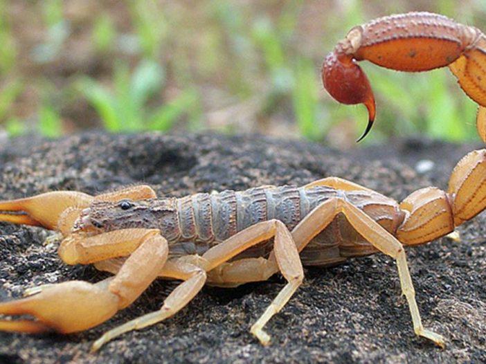 Come le code di scorpione si piegano e si attorcigliano